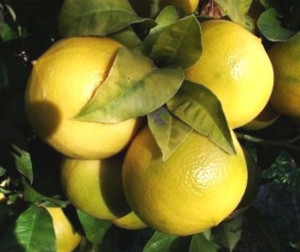 Bergamot Juice and Prostate Cancer