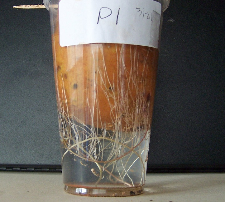 Sweet Potato in Aqua Pour PiMag Water